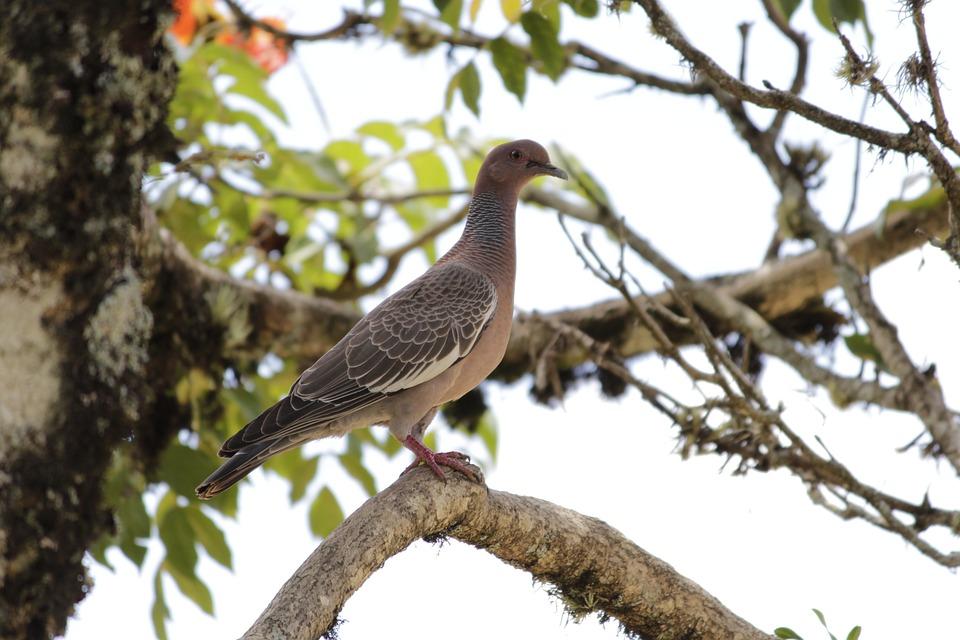 White Dove, Paige, Bird, Brazilian Fauna, Birds, Pigeon