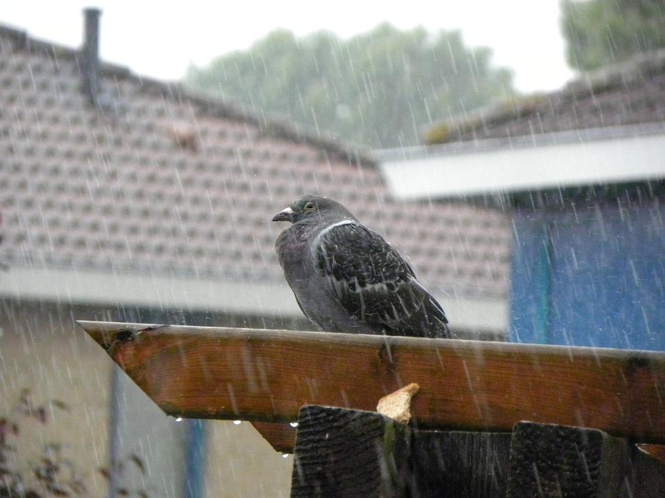 Pigeon, Homer, Rain, Rest