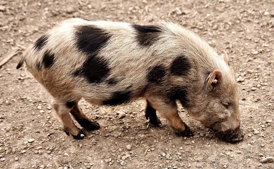 Dirty Piglet