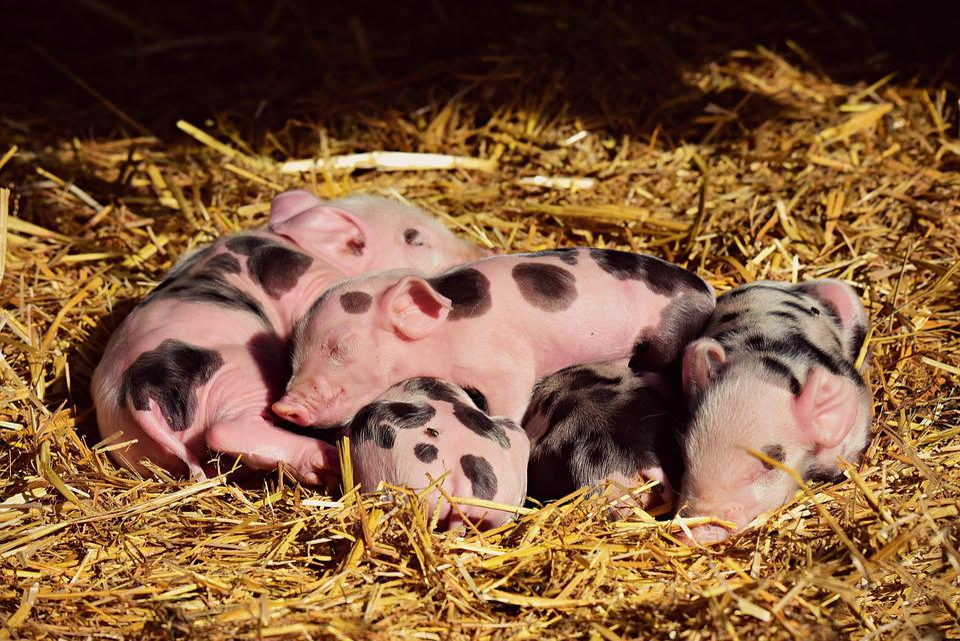 Piglet, Pig, Young, New Born, Animal, Mammal, Sleeping