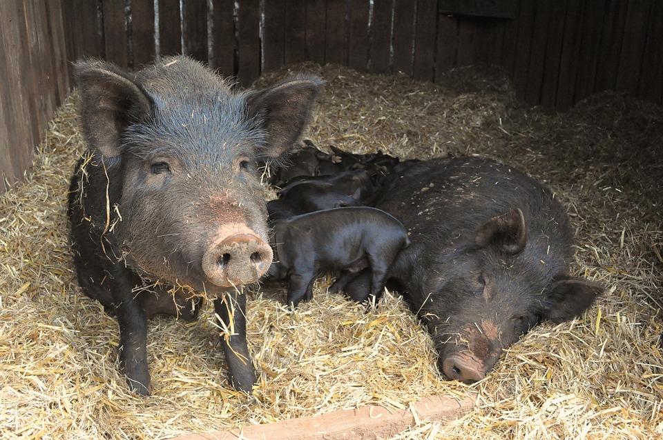 Pigs, Piglets, Farm, Animal, Baby Animal, Cute