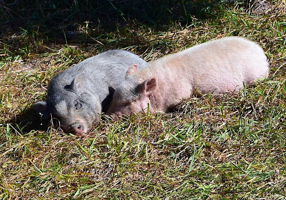Pigs, Piglets, Cute, Sleeping, Cuddling, Farm, Animal