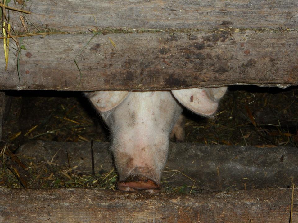 Pigsty, Pig Sty, Pig, Farm, Pig Nose, Nose