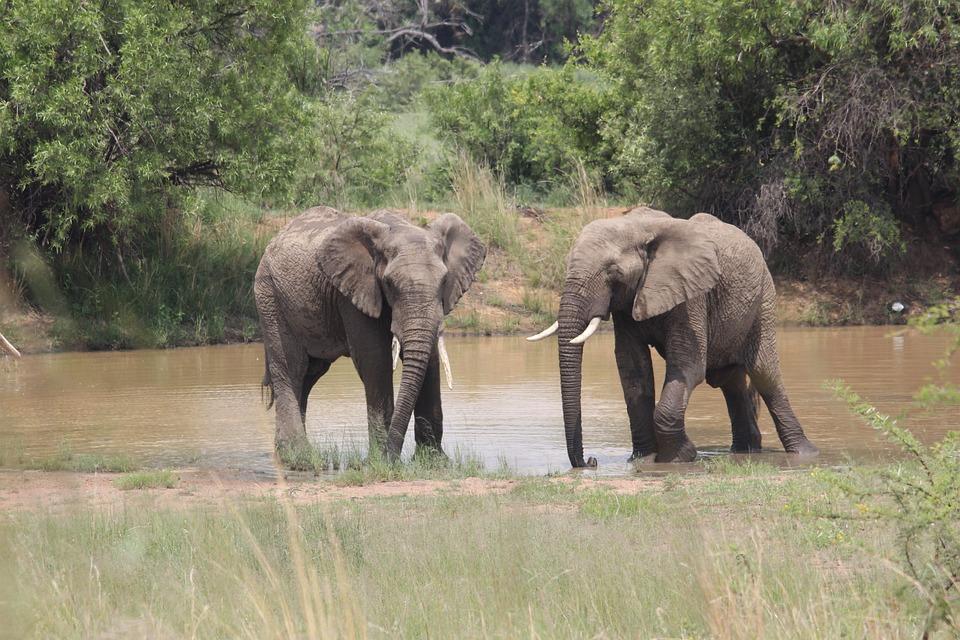 Elephant, Mating, Ritual, Pilanesberg, Impress