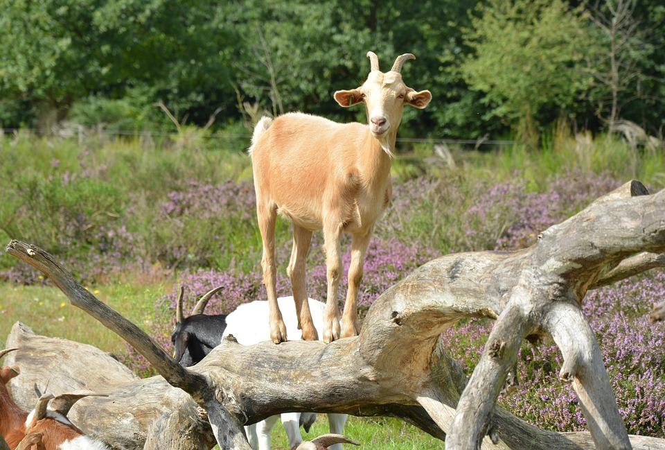 Goat, Billy Goat, Bock, Pillar, Animal