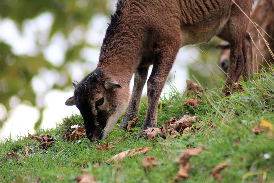 Goat, Pillar, Baby, Wildlife Photography, Livestock