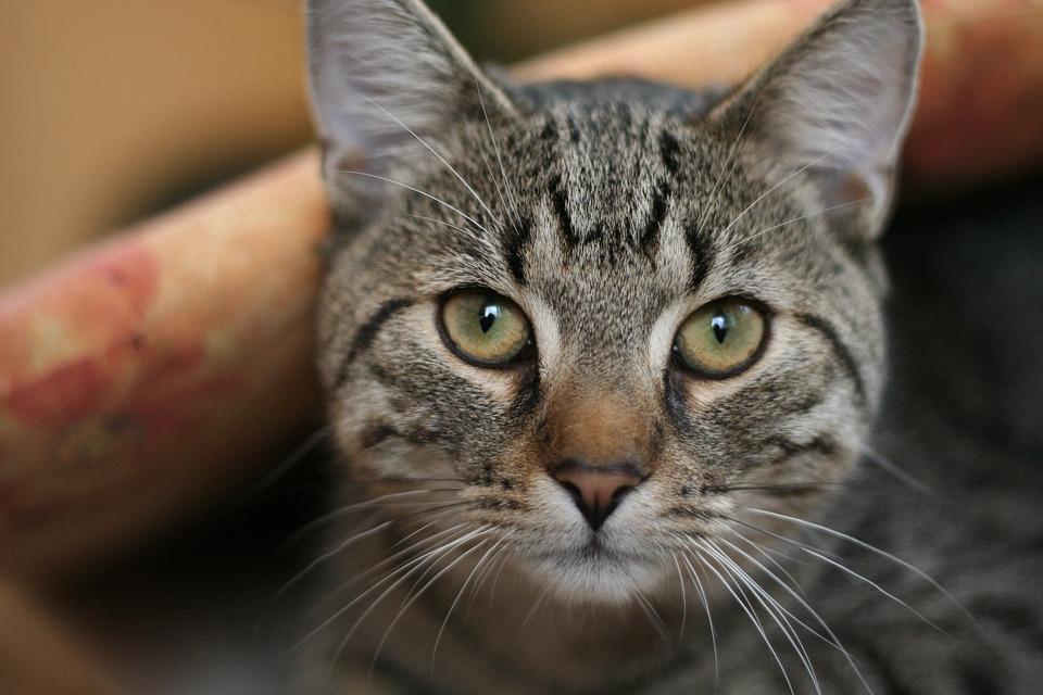 Cat, Curious, Animals, Portrait, Nature, Pillow