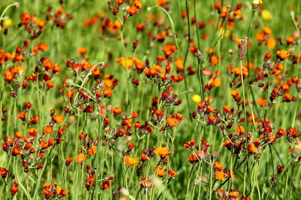 Hawkweed, Flower Meadow, Pilosella Aurantiaca, Meadow