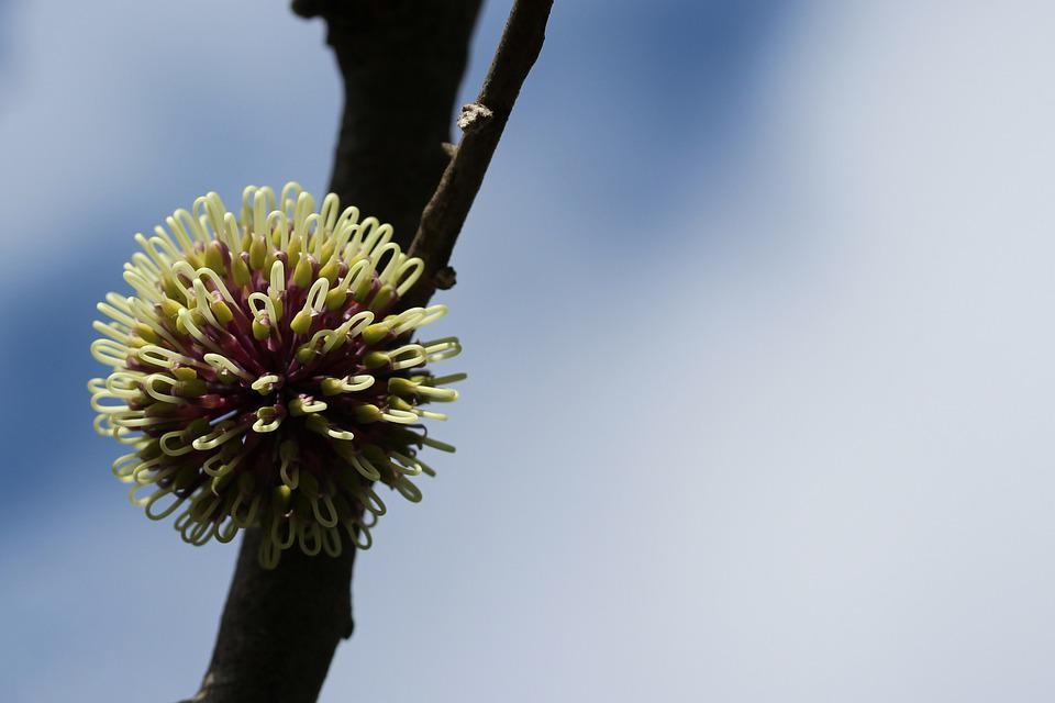 Pin-cushion Hakea, Flower, Spherical, Globular