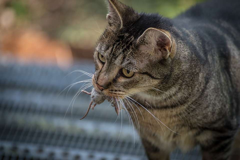 Cat, Mouse, Animal, Domestic Cat, Start, Hunting, Pinch