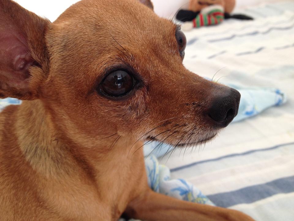 free photo pincher pets dog max pixel
