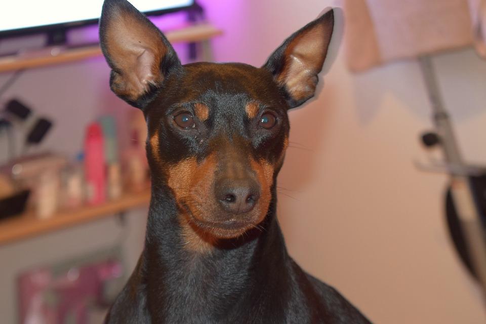 Dog, Pincser, He Just Fell In Love, Ear, My Favorite