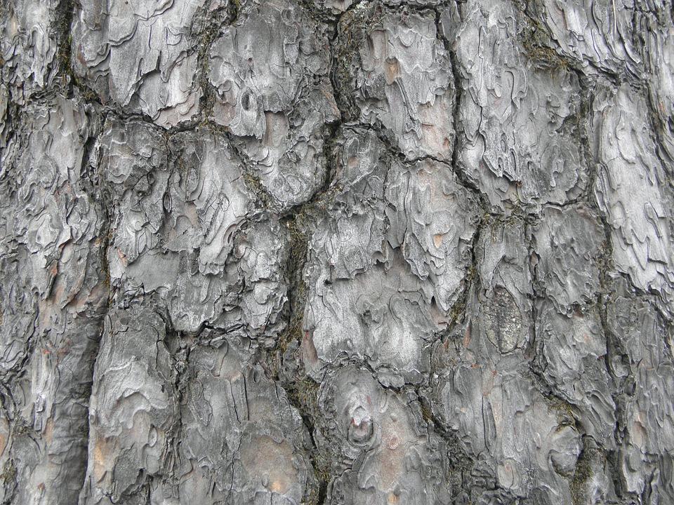 Wood, Pine, Nature, Arboretum, Peel, Texture, Wild