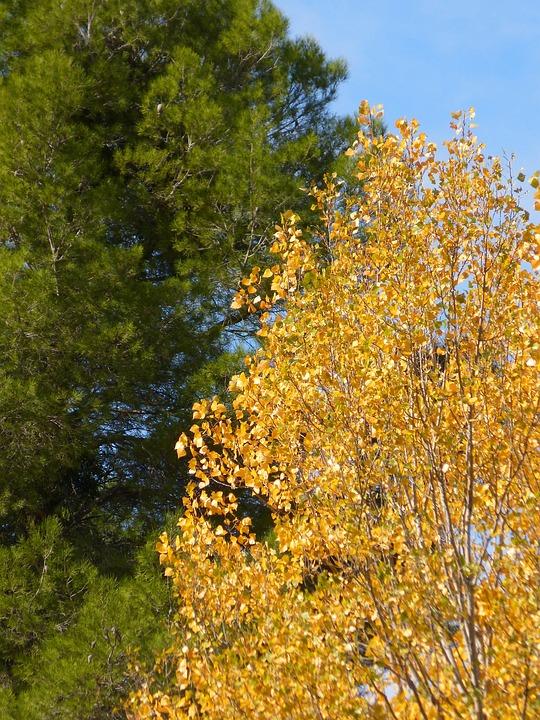 Pine, Poplar, Green And Yellow, Autumn, Contrast