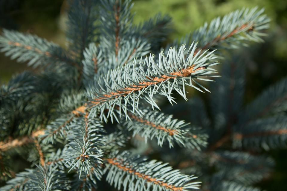 Branches, Evergreen, Pine, Fir Tree, Pine Tree