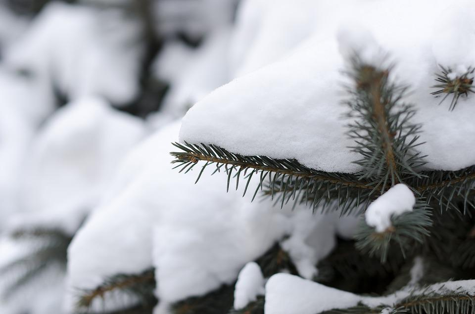 Pine Branches, The First Snow, Winter