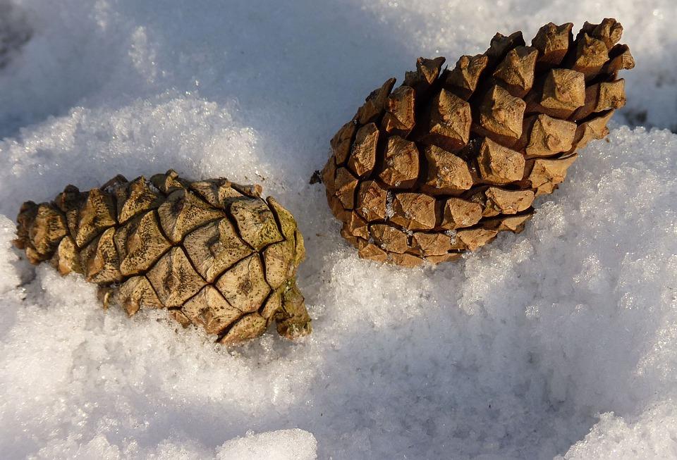 Tap, Pine Cones, Pine, Nature, Conifer, Close