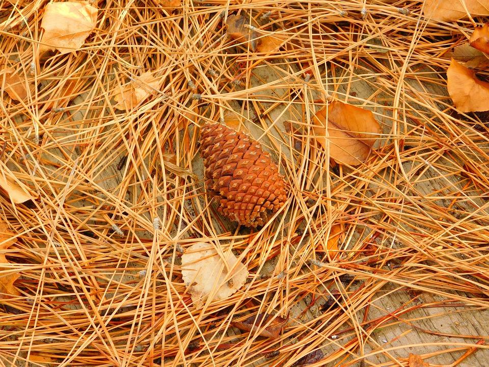 Pine Cone, Fall, Pine Needles, Autumn, Pine, Cone
