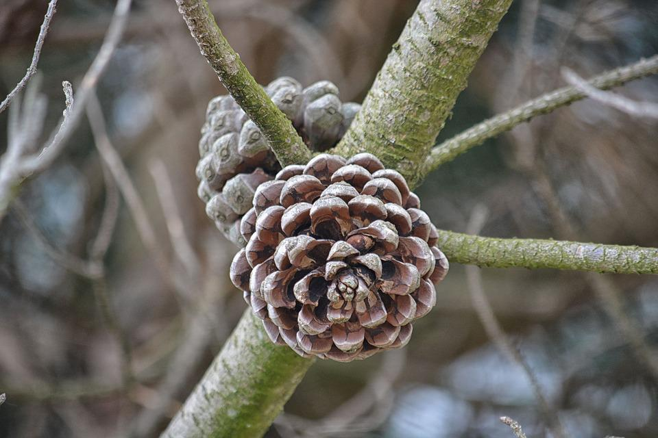 Pine Cone Pine, Pigne Pine Tree, Pinecone, Conifer