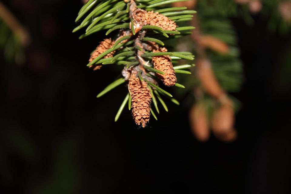 Macro, Spruce, Needles, Pine, Sprig, Pine Cone, Branch