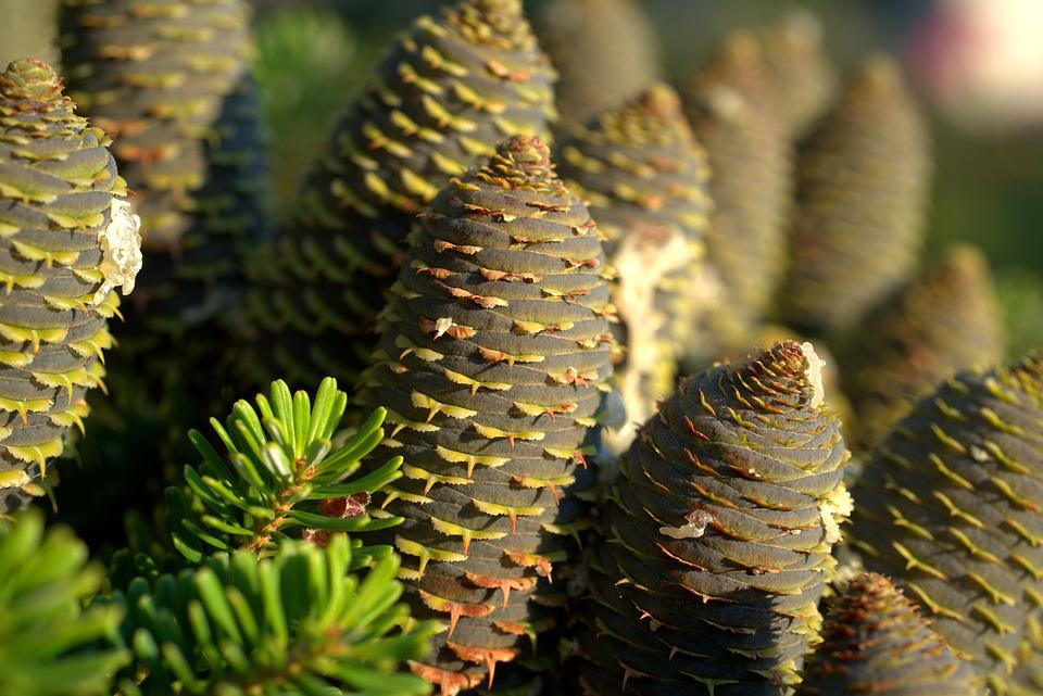 Tap, Pine Cones, Fir Tree, Tree, Nature, Forest