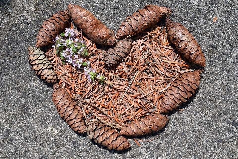 Heart, Pine Cones, Tap, Pine Needles, Needles, Nature