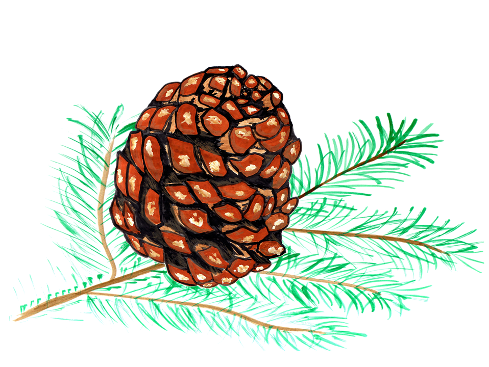 Pine Cones, Pine, Watercolor, Isolated, Handpainted