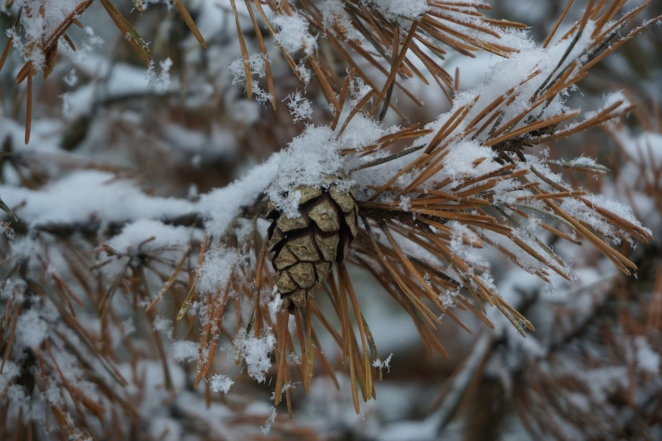 Pine Needles, Pine Cones, Snow, Branch