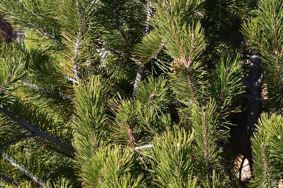 Fir, Pine, Tree, Needles, Green, Nature, Evergreen