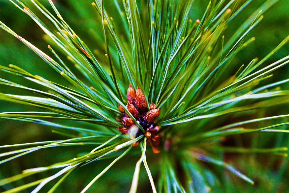 Pine, Tree, Pine Cone, Forest, Conifer, Garden, Nature