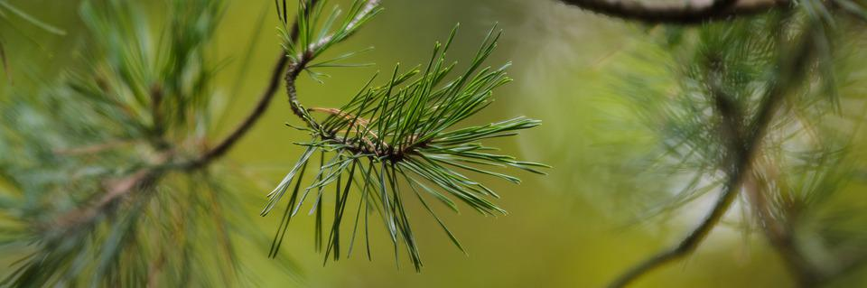 Pine, Needles, Tree, Conifer, Forest, Branch, Nature