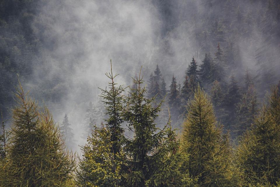 Pine Forest, Pine Trees, Forest, Pine, Trees, Nature