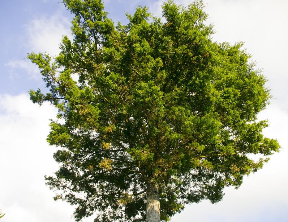 Tree, Pine, Green