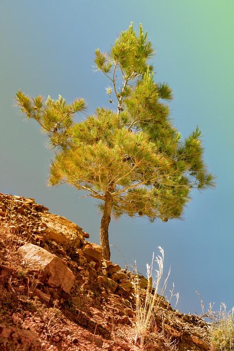 Pine, Steinig, Stones, Dry, Summer, Greece, Hot