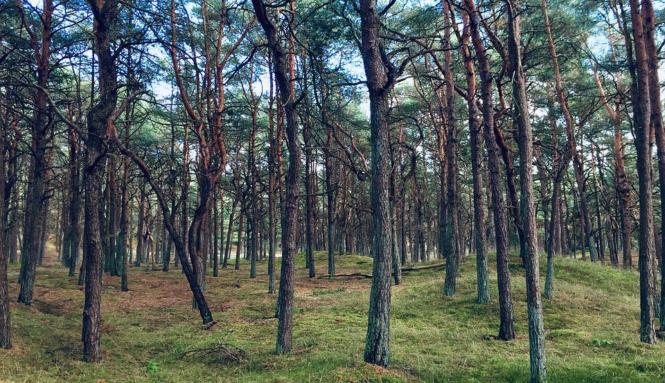 Forest, Pine, Nature, Landscape, Trees