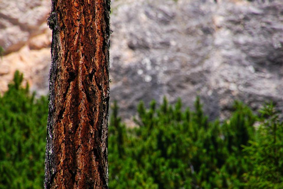 Tree, Trunk, Larch, Mugo Pine, Pine, Rock, Alps, Green