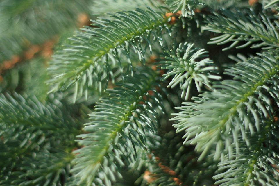 Blue Spruce, Pine Needles, Tree, Conifer, Pine, Branch