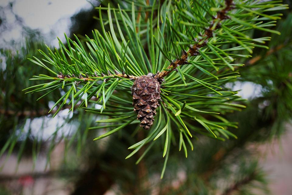 Pine Cones, Pine Needles, Fir Tree, Conifer, Kienapfel