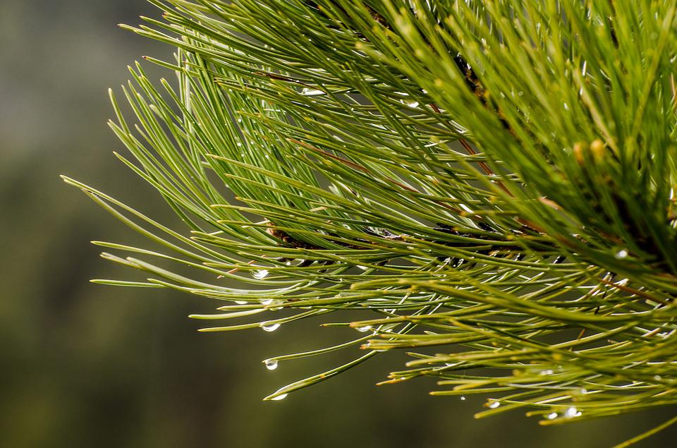 Pine Needles, Water Drops, Droplets, Water Drop, Pine