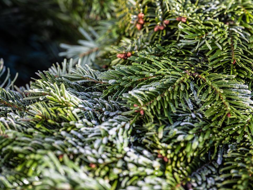 Pine Needles, Wreath, Frost
