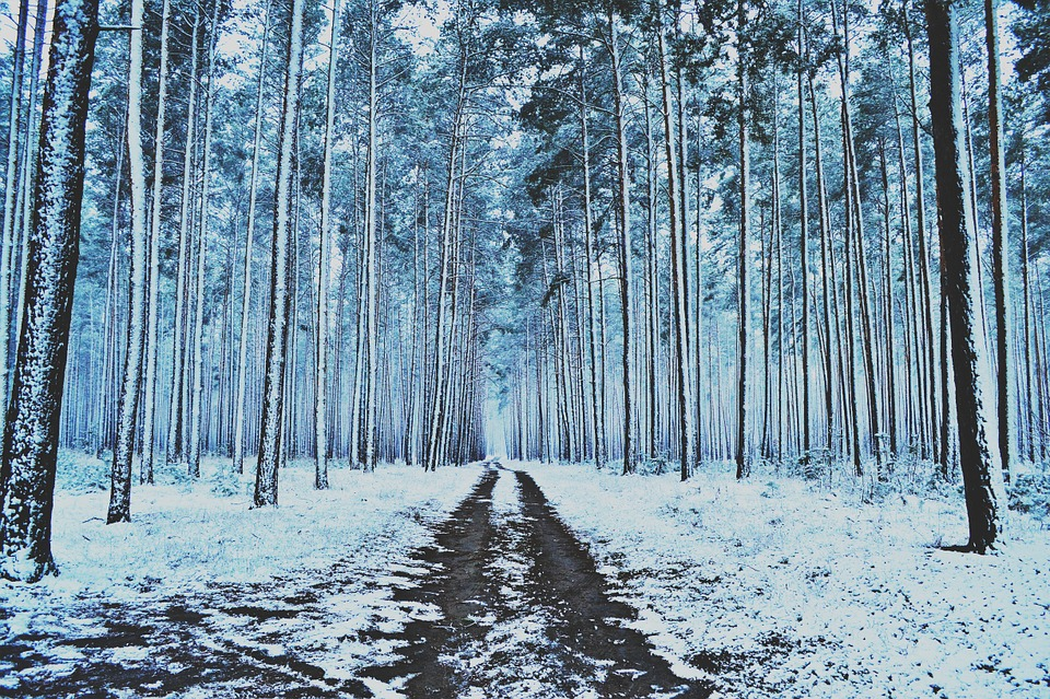 Winter, Forest, Snow, Trees, Winter Forest, Pine