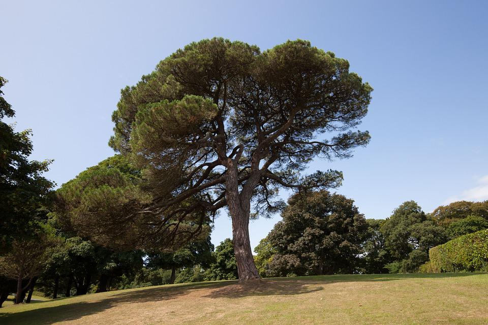 Pine, Park, Trees, Meadow, Solitaire, Hill, Sky, Rest
