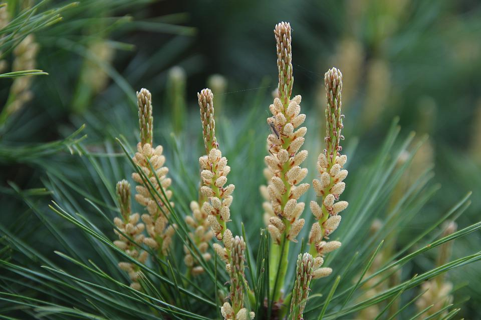 Pine, Conifers, Greenery, Flowers, Spring, Nature