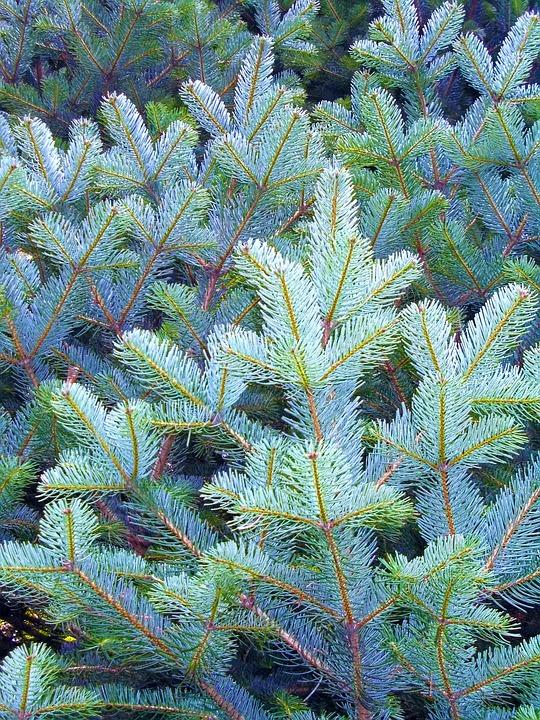 Pine, Spruce, Pine Needle, Leaves, Nature
