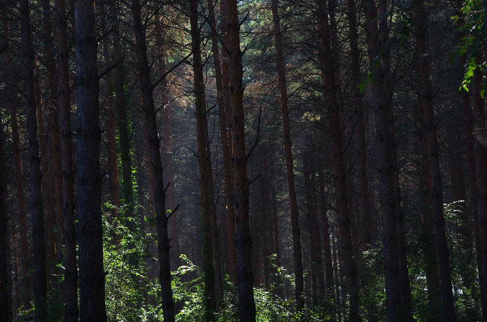Jungle, Pine Tree, Changchun