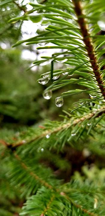 Pine Tree, Needles, Close Up, Water Drop, Forest, Rain