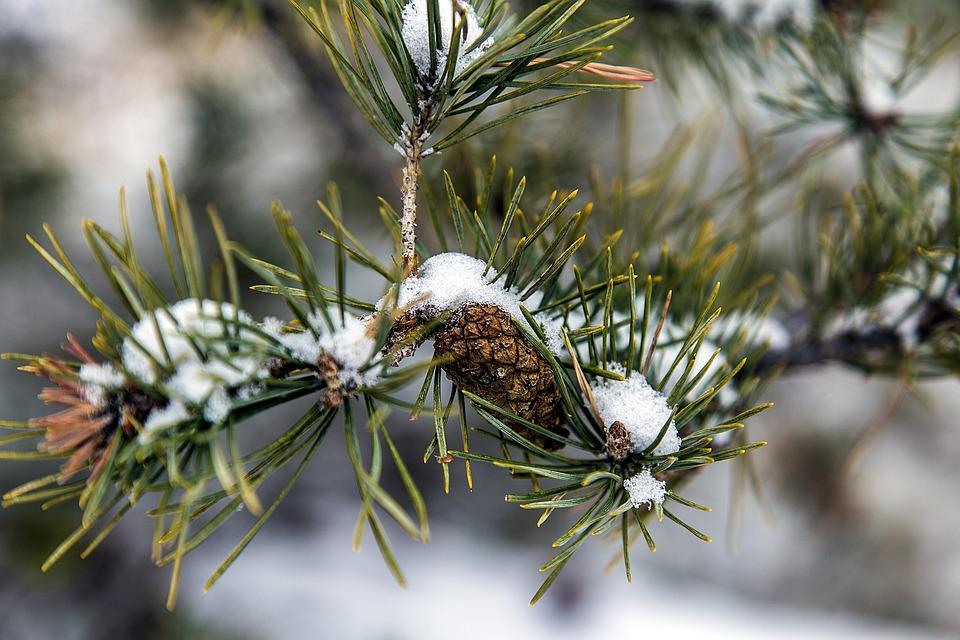 Tree, Pine, Needles, Cone, Snow