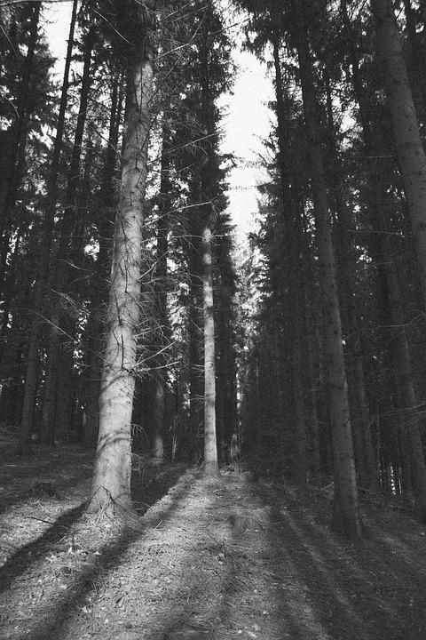Pine, Tree, Pine Tree, Nature, Forest, Wood, Trunk