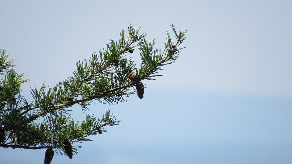 Pine Tree, Tree, Nature, Pine Cone, Conifers, Valley