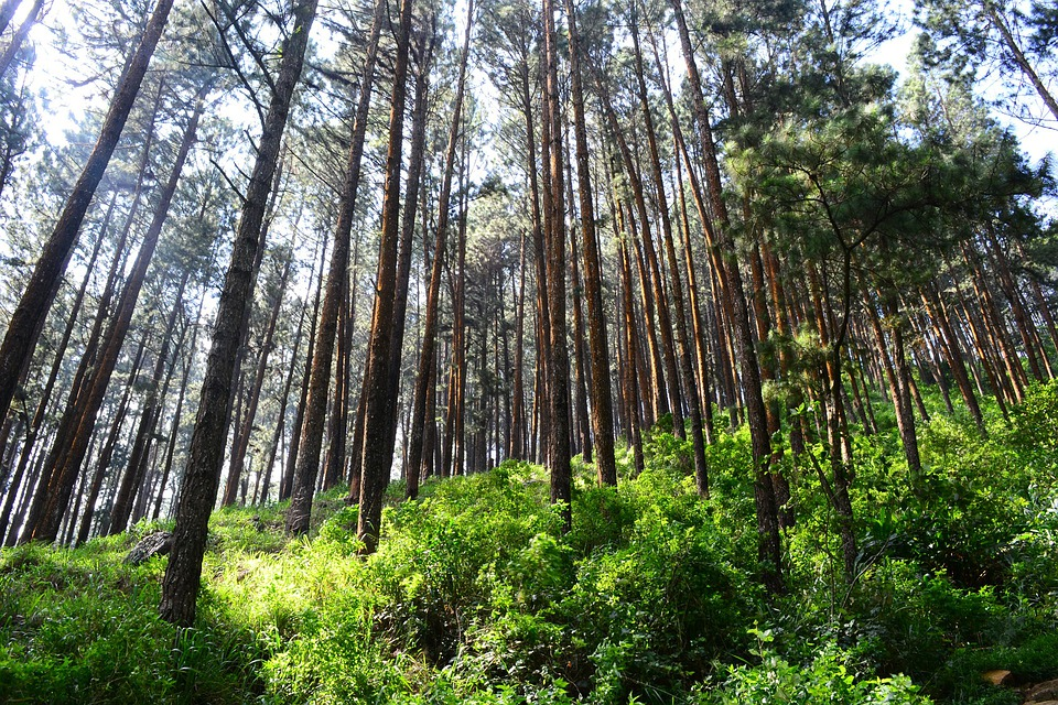 Tall Trees, Pine Trees, Tress, Pine Forest